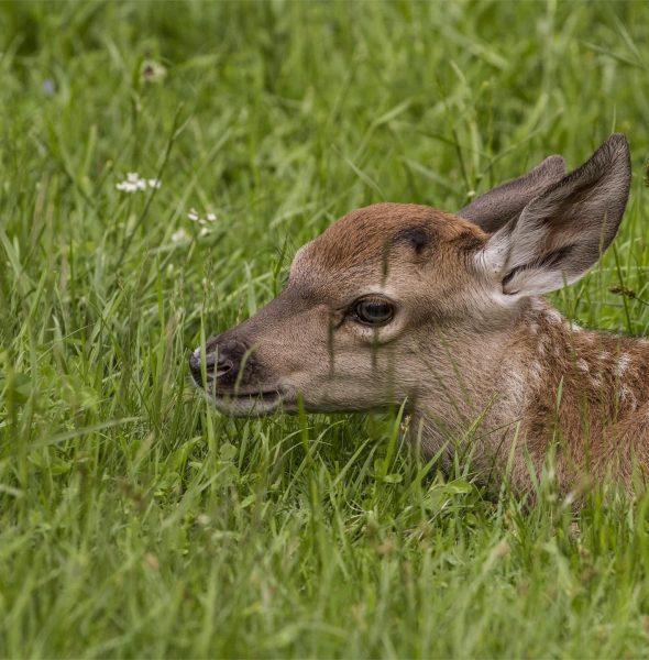 A tu per tu con il cervo